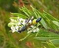 Ammophila species (39838821551).jpg