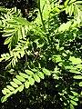 Amorpha fruticosa3.JPG