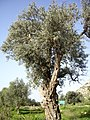 An Olive Tree in Oren Creek, Mt. Carmel - panoramio.jpg
