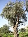 An Olive Tree in Oren Creek, Mt. Carmel - panoramio.jpg