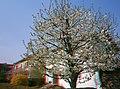 Anaglyphenbild 3D in Farbe aus zwei versetzt aufgenommenen Bildern - Blühender Kirschbaum.jpg