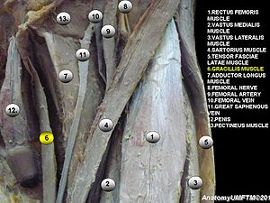 Gracilis muscle - Image: Anatomical dissection 6