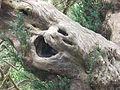 Ancient yew, Kingley Vale 38.JPG