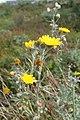 Andryala pinnatifida kz16.jpg