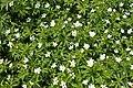 Anemone canadensis kz04.jpg