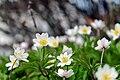 Anemone nemorosa Polster.jpg