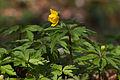 Anemone ranunculoides (Anémone fausse renoncule) 2 - W.Sandras.jpg