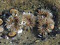 Anenomes tidepools underwater.jpg
