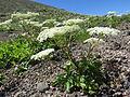 Angelica acutiloba subsp. iwatensis 1.JPG