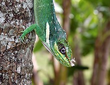 Anolis equestris - bright close 3-4.jpg