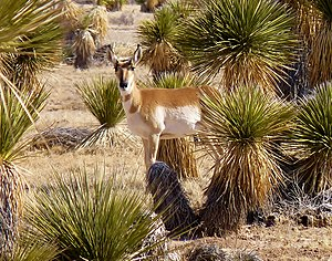 Chihuahuan Desert - Pronghorn and lechuguilla are native species of the Chihuahuan Desert.