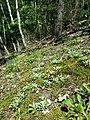 Antennaria dioica sl66.jpg