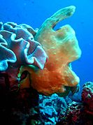 Giant frogfish (Antennarius commerson)