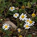 Anthemis arvensis-Anthemis fausse camomille-Fleur-20160610.jpg