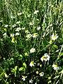 Anthemis arvensis (subsp. arvensis) sl2.jpg