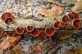 Anthracophyllum lateritium (Berk. & M.A. Curtis) Singer 862648.jpg