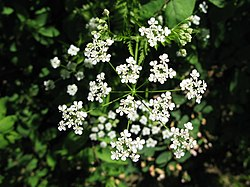 Anthriscus sylvestris inflorescence, May 2008, Prague, Czech Republic.jpg