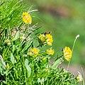 Anthyllis vulneraria at Col de Tavaneuse (2).jpg