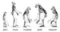 Ape skeletons-hr.png