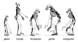 Ape skeletons-hr.png