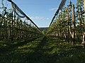 Apple Rows (105612687).jpeg