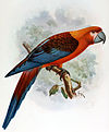 Cuban red macaw