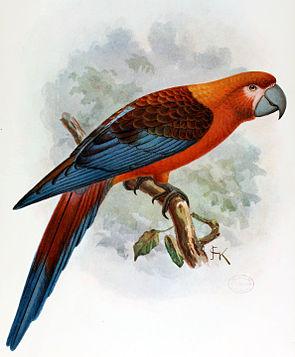 Kuba-Ara (Ara tricolor) Illustration John Gerrard Keulemans, aus Extinct Birds, 1907