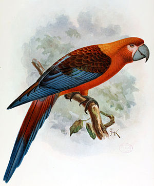 Kuba-Ara (Ara tricolor) Illustration John Gerrard Keulemans, aus Extinct Birds, 1907