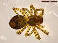 Araneae sp. (40177026672).jpg