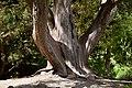 Arbutus unedo in Christchurch Botanic Gardens 02.jpg