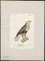Archibuteo lagopus - 1842-1848 - Print - Iconographia Zoologica - Special Collections University of Amsterdam - UBA01 IZ18200073.tif