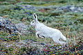 Arctic Hare in Greenland.jpeg