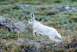 Arctic Hare in Greenland.jpeg