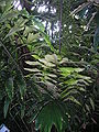 Arenga ambong Leaves.jpg