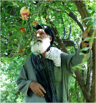 Arghandab District - Fruit farmer in Arghandab District
