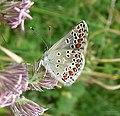 Aricia artaxerxes. Mountain Argus. - Flickr - gailhampshire.jpg