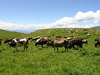 Armenian Cows in the Meadow.JPG