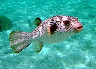 <i>Arothron</i> genus of fishes