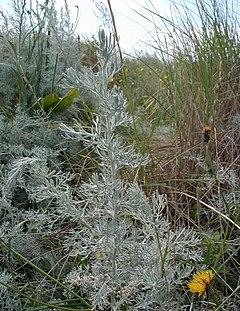 Artemisia-maritima.JPG