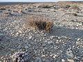 Artemisia pygmaea — Matt Lavin 003.jpg