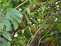Artocarpus ¿ species ? (5595024643).jpg