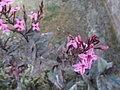 Arya-Pseuderanthemum-jayana-2019 01.jpg