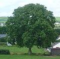 Ash (Fraxinus excelsior) Wales 160730 (Tony Holkham).jpg