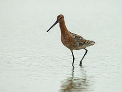 Asian Dowitcher 6375.jpg