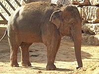Asian Elephant 13.jpg