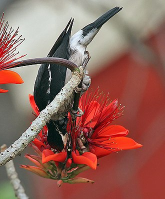 Erythrina - Asian pied starling (Gracupica contra) feeding on Indian coral tree (E. variegata) flowers in Kolkata, India.