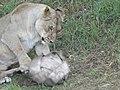 Asiatic Lioness 16.jpg