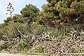 Asparagales - Agave americana - 3.jpg