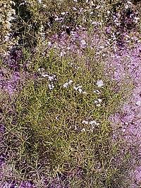 Asperula tinctoria0