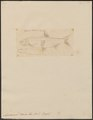 Aspidoparia morar - 1807-1822 - Print - Iconographia Zoologica - Special Collections University of Amsterdam - UBA01 IZ15000118.tif
